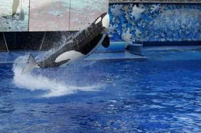 SeaWorld: Tilikum, Orca That Killed a Trainer and Was Profiled in