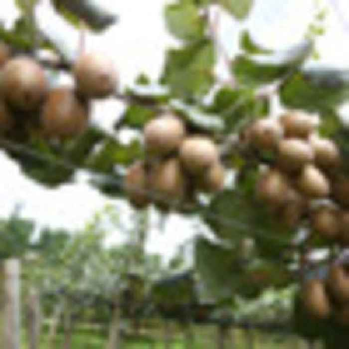 Zespri weighs up partnership with Chinese kiwifruit growers