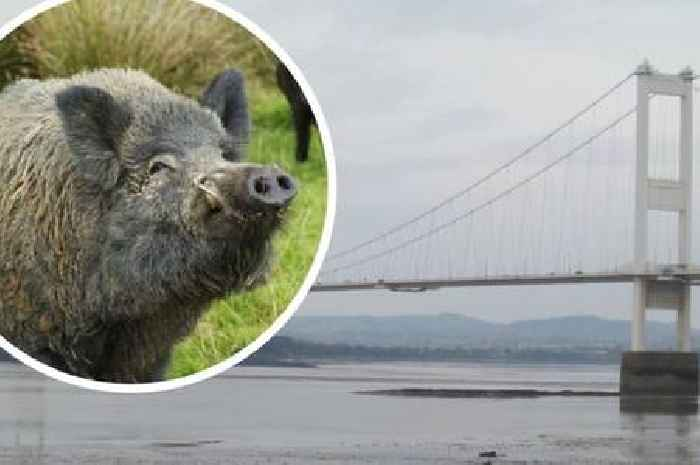 Wild boar from could swim the River Severn, expert claims