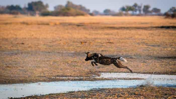 African Wild Dog: An Ambassador For World's Largest Terrestrial Conservation Area