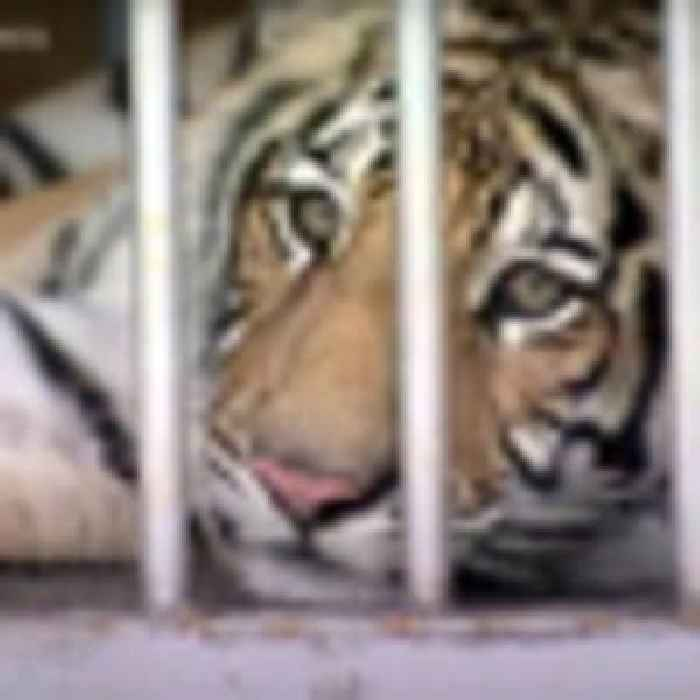 Police in Houston find missing tiger after week-long search