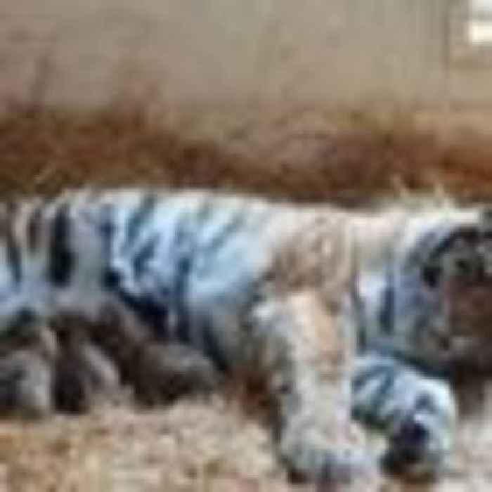 Three endangered tiger cubs born at Scottish wildlife park