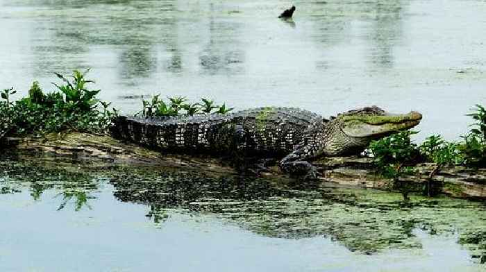 Louisiana Alligator Gets Washed up 400 Miles Away to South Texas Beach, and Park Rangers Are Stumped