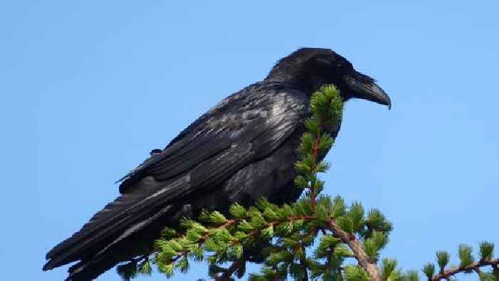 Mourne Mountains ravens provide sign of hope in aftermath of devastating arson