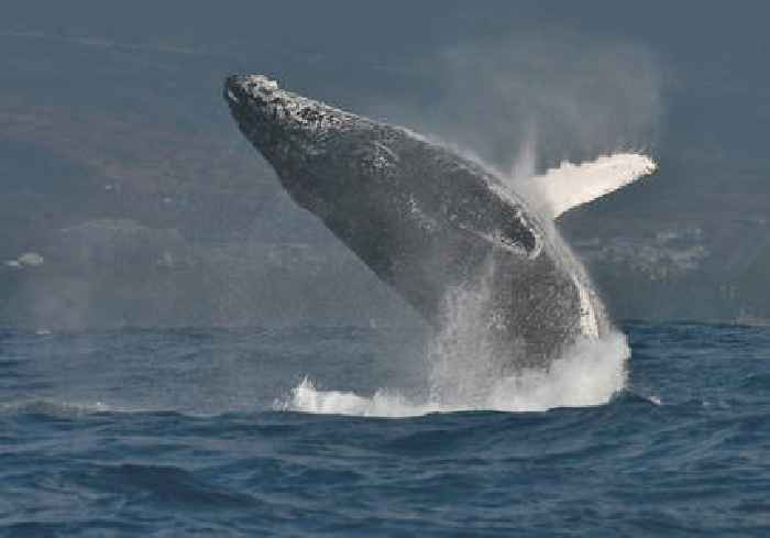 Modern-day Jonah: Cape Cod diver swallowed by humpback whale, but escapes
