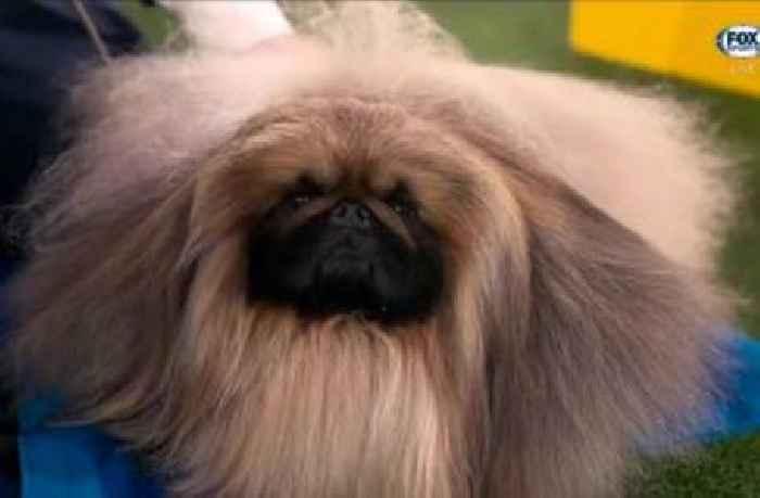 'He's a wonderful dog' - Wasabi's handler describes him after winning Best in Show