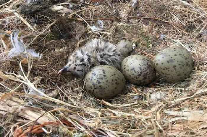 Herring gull eggs contaminated with plastic additives, study finds
