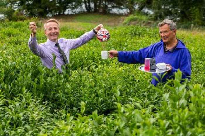 Bumper crop for England's only tea plantation thanks to hot weather