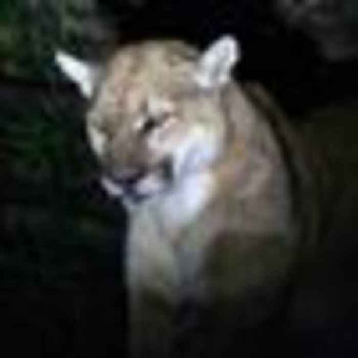 Mother punches mountain lion to save son, five, from savage attack