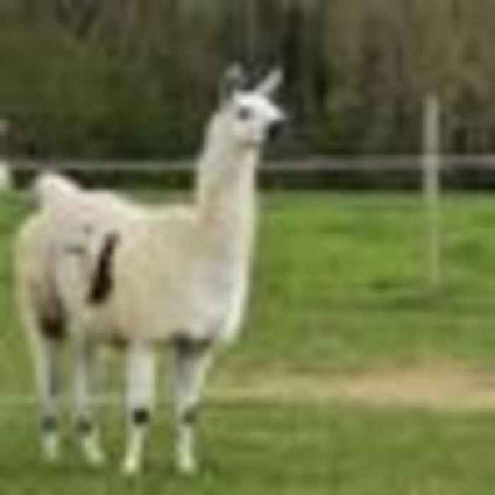 Llama antibodies have 'significant potential' as COVID-19 treatment with new research hailed