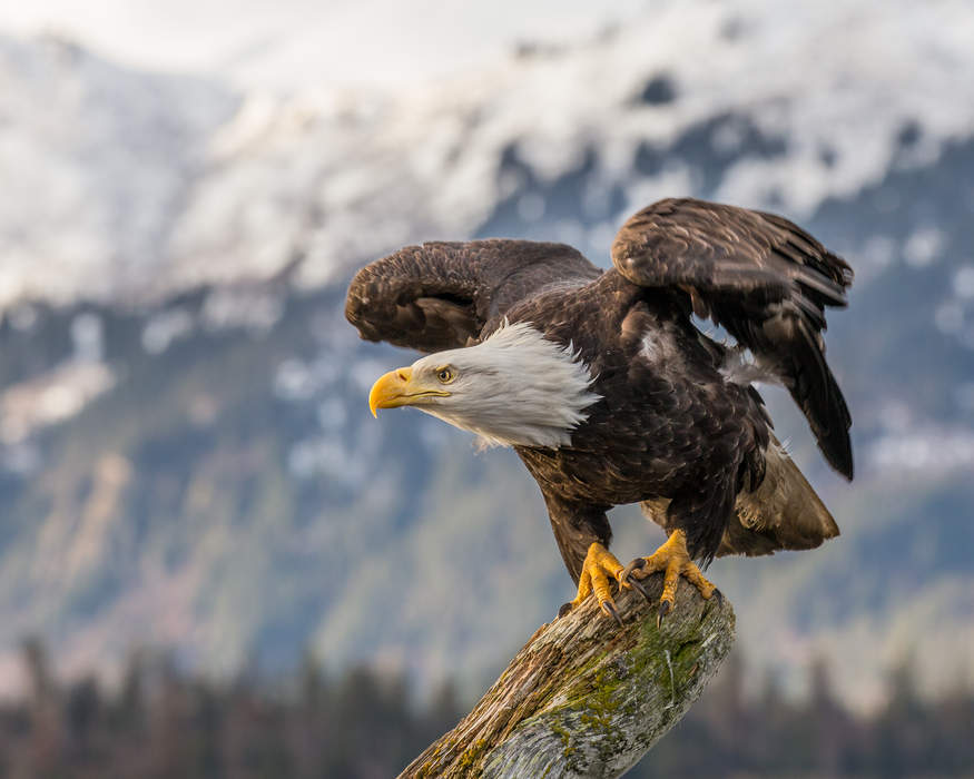 National importance of Challenger the Bald Eagle