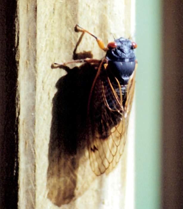 Brood X cicadas hit Washington's Capitol Hill