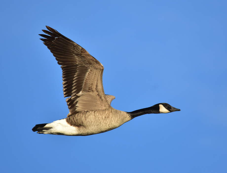 Canada Goose to end the use of all fur on coats