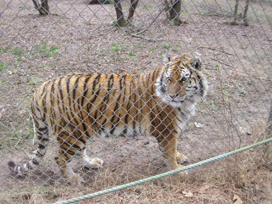 Carolina Tiger Rescue takes in big cats from Tiger King Park