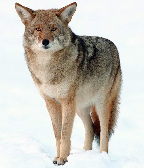 Coyote bites Massachusetts boy, 5, playing in backyard sandbox