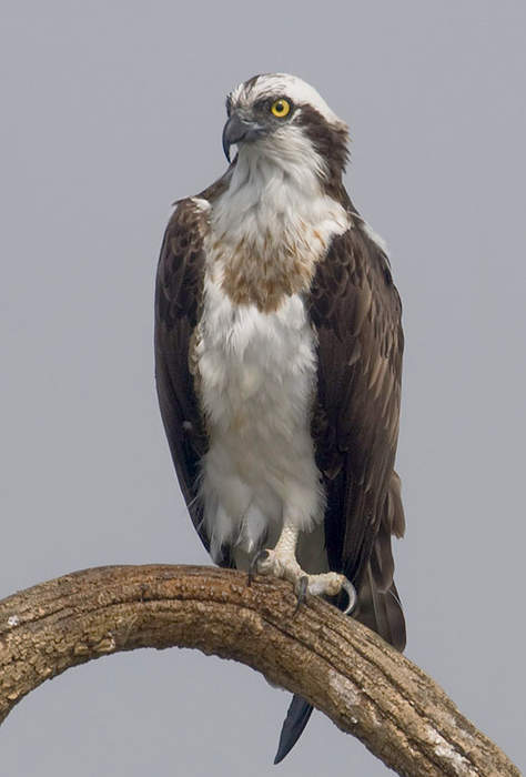 Osprey nests interfering with Md. traffic cameras