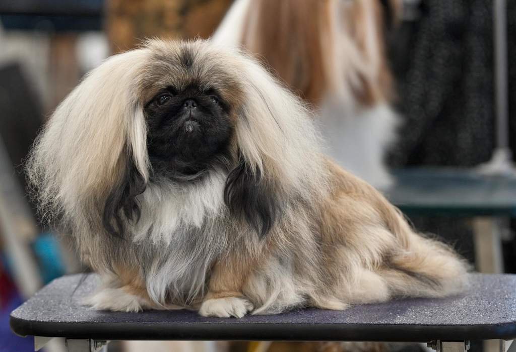 Wasabi the Pekingese Wins Best in Show at 2021 Westminster Dog Show