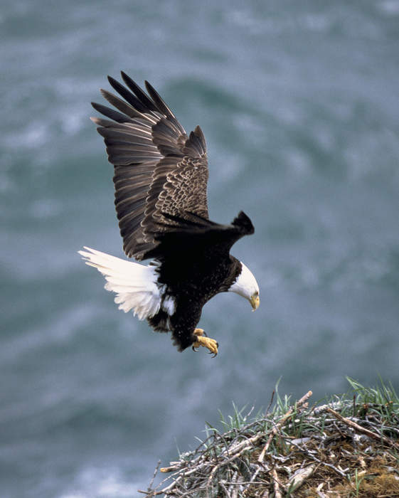 Sea Eagles for a day: Roughy and Bob join the nest