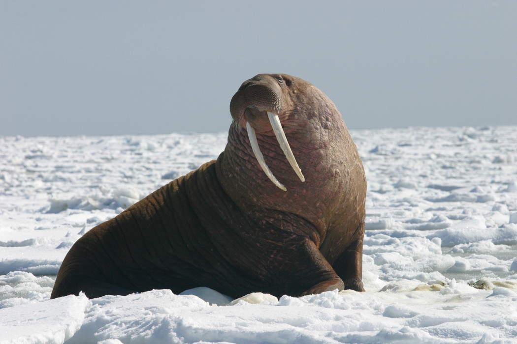 Walrus caught on camera on Pembrokeshire coast
