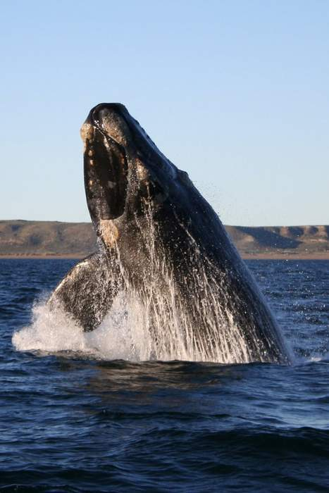 Whale steals the show at press conference