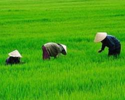 governments agree to stem cancer-causing arsenic in rice: un