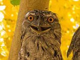 smile for the camera! bird called the tawny frogmouth grins for his close up from his perch