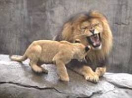 lion cub triplets pestering their weary father zawadi at oregon zoo