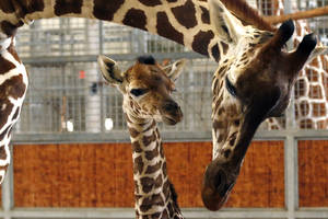 Baby giraffe dies at Dallas zoo after habitat accident