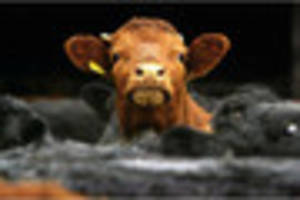 farmers' worst nightmare? mad cow disease found in sole cow in...