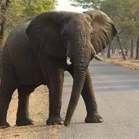 Scientists Discover Why Elephants Rarely Get Cancer