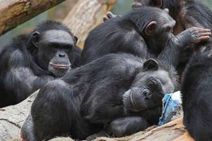 Research chimps to be retired to sanctuaries