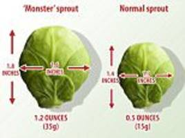 MONSTER sprouts bigger than golf balls are heading for dinner plates this winter