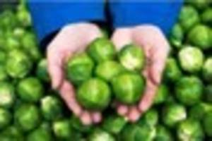 These 'monster' Brussels sprouts can be bought from a Derby...
