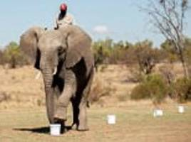 he's got the nose for it! african elephant can detect even a tiny amount of tnt using his sense of smell
