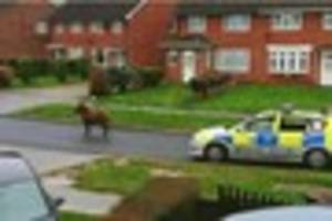 Vet humanely kills pony which led police on hour-long...