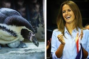 penguin named after kim sears on course to give birth at same time as andy murray's pregnant wife