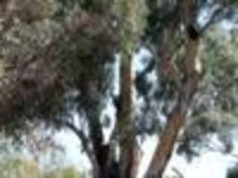 school takes council to court over massive old tree