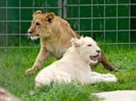 Raubtierpark Swiss zoo's bankrupt owner admits the animals may have to be put down
