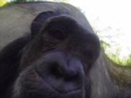 oregon zoo's chloe the chimpanzee chronicles her life as she plays with a gopro
