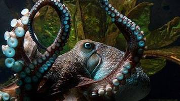 the el chapo of the octopus world