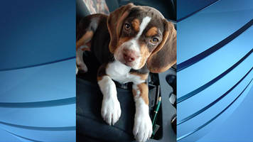 Martinsville family searching for disabled veteran's missing service dog