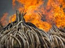 Kenyans ignite the biggest burn of ivory in history in a bid to stamp out the illegal poaching trade