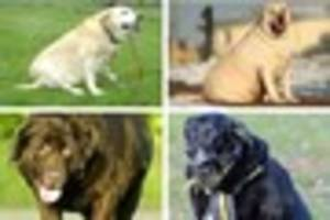 Scientists discover why Labradors beg the most out of any dog
