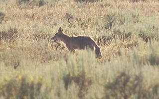 coyote coroners duo, dogs on peninsula trail: police issue warning
