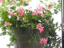 Hanging Baskets Add Special Touch to Port Washington