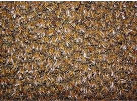 buzz about the concord bee swarm is killer-free