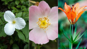 Can you ID the official flowers of each Canadian province?