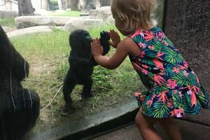 baby gorilla shares touching moment with little girl at texas zoo