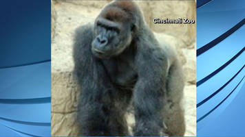A child is recovering after falling into the gorilla enclosure at the Cincinnati Zoo