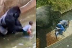 was zoo gorilla harambe protecting child just like jambo did for british boy in 1986?